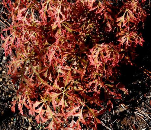 Acer palmatum dissectum Firecracker Cutleaf Japanese Maple