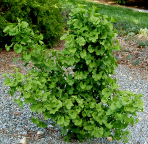 Ginkgo biloba Jehosephat Dwarf Maidenhair Tree