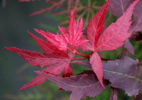 Acer Palmatum Ruby Ridge Japanese Maple Tree Kigi Nursery