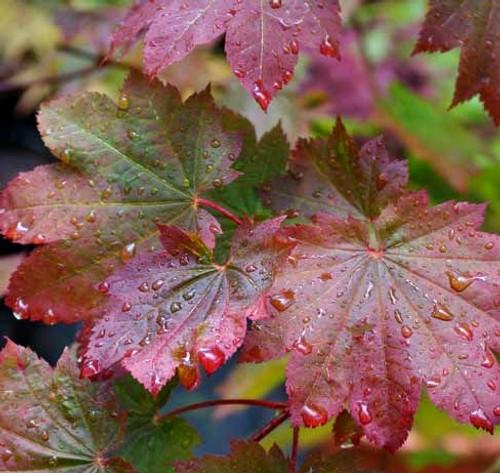 Acer japonicum Aka omote Fullmoon Maple Tree