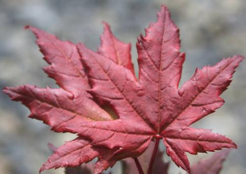 Acer Circinatum Burgundy Jewel Red Leaf Vine Maple Kigi Nursery
