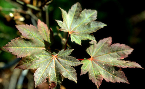 Acer japonicum Ruby Fullmoon Maple Tree