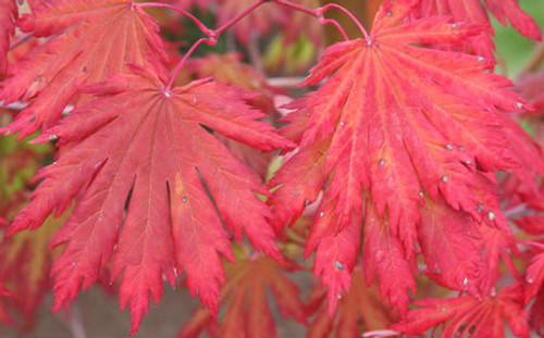 Acer japonicum Yama kage Full Moon Maple Tree
