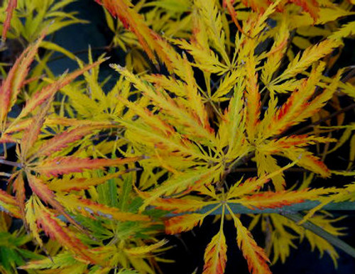 Eagle Claw Japanese Maple