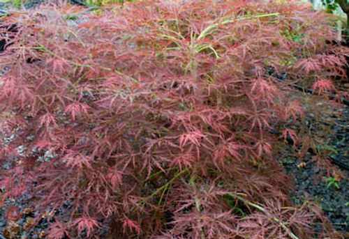 Acer Palmatum Dissectum Irish Lace Japanese Maple Kigi Nursery