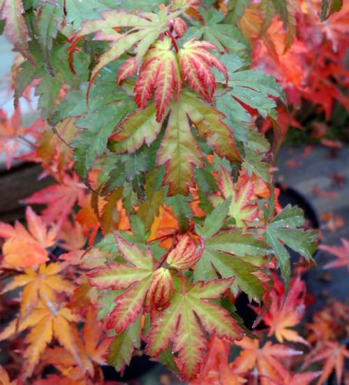 Acer Palmatum Tsukasa Silhouette Japanese Maple Tree Kigi Nursery