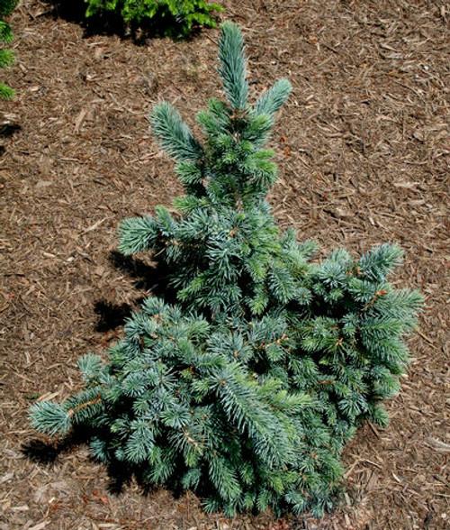 Picea engelmannii Hoodie Dwarf Engelmann Spruce