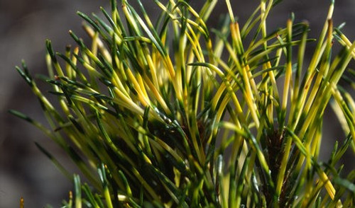 Pinus mugo Sunshine Dwarf Golden Mugo Pine