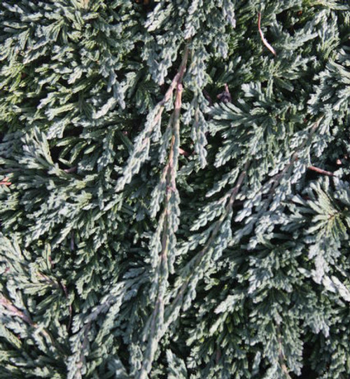 Juniperus horizontalis Pancake Dwarf Creeping Juniper