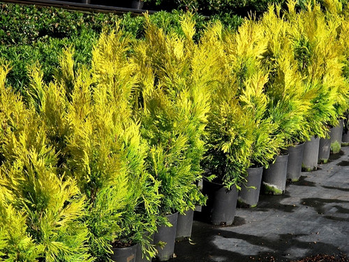Thuja plicata 4ever Goldy Golden Western Red Cedar