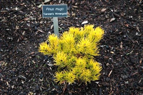 Pinus mugo Carsten's Wintergold Golden Yellow Mugo Pine