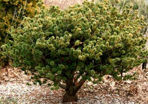 Pinus parviflora Adcocks Dwarf Japanese White Pine