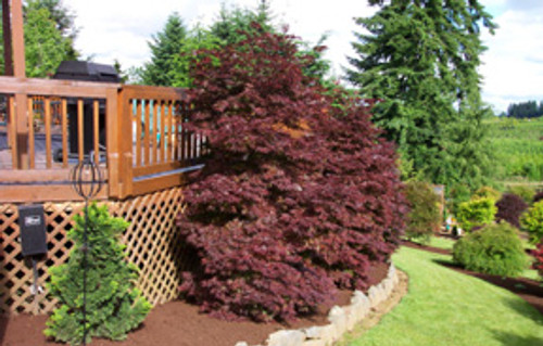 Acer palmatum Pixie Dwarf Red Japanese Maple