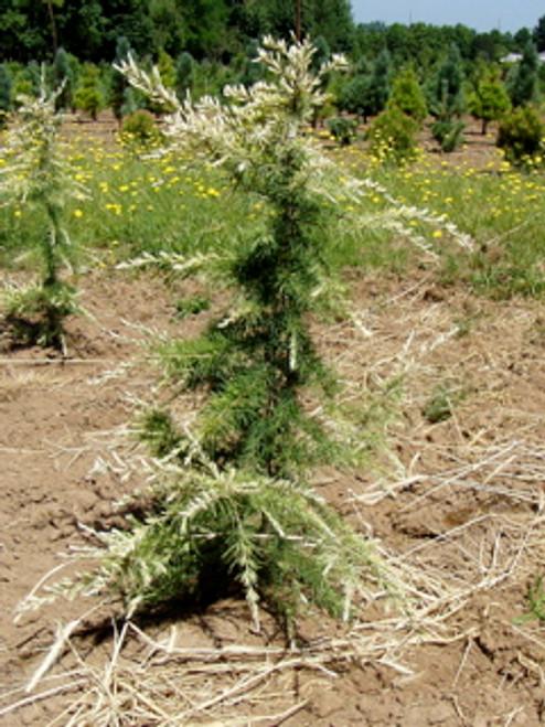 Cedrus deodara 'Albospica' White Tip Himalayan Cedar