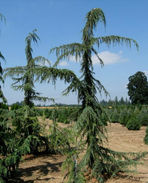 Weeping Cedar Of Lebanon Cedrus Libani Glauca Pendula
