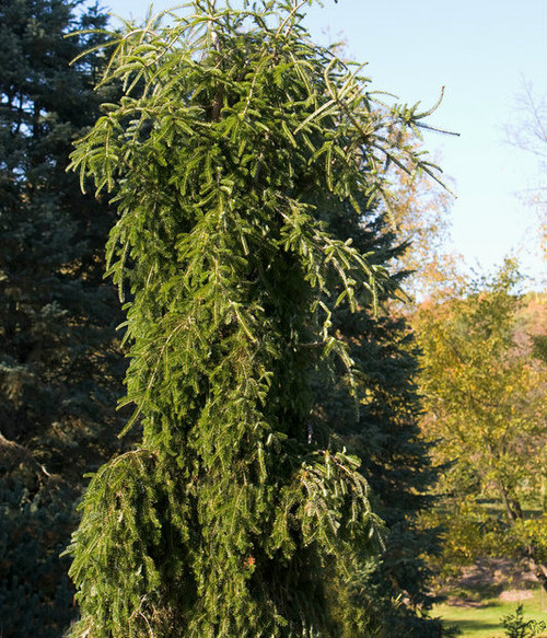 Abies alba Green Spiral Weeping Silver Fir