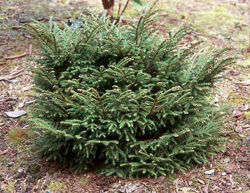 Picea orientalis Barnes Dwarf Oriental Spruce
