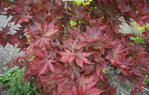 Acer Palmatum Beni Hoshi Dwarf Red Star Japanese Maple Tree