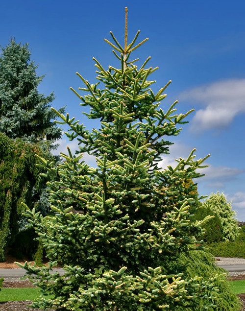 Golden Spanish Fir