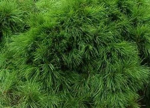 Pinus densiflora Pendula Weeping Japanese Red Pine