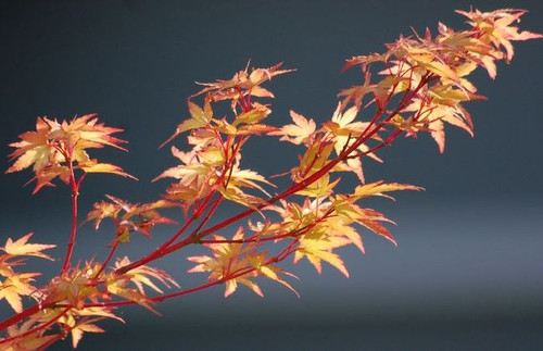 Acer palmatum 'Sango kaku' Coral Bark Japanese Maple Tree