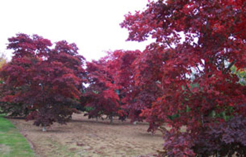 Acer palmatum 'Bloodgood' Red Japanese Maple Tree