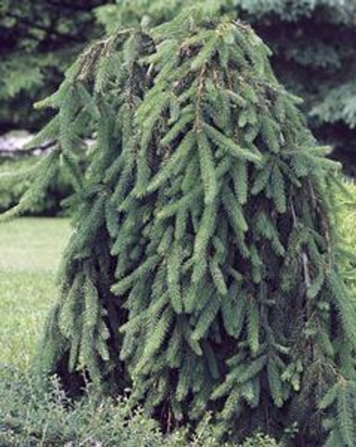 Picea abies Pendula Weeping Norway Spruce Tree