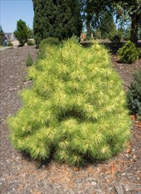 Pinus densiflora ' Golden Ghost ' Yellow And Green Variegated Japanese Red Pine