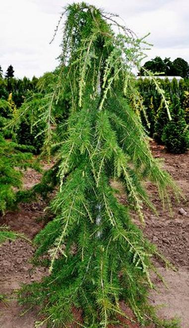 Cedrus libani 'Beacon Hill' Weeping Cedar of Lebanon
