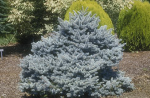 Picea pungens 'Montgomery' Dwarf Blue Spruce