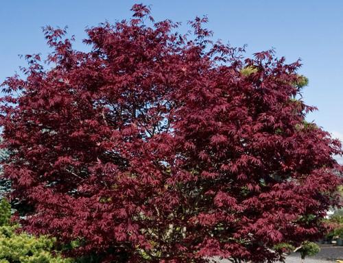 Fire Glow Japanese Maple Tree