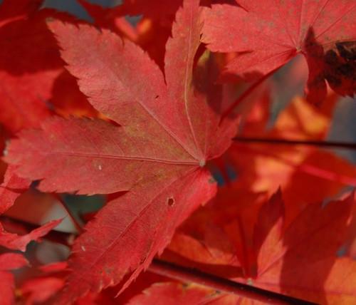 Acer palmatum 'Herbstfeuer' Japanese Maple Tree