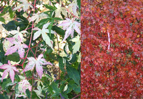 Acer palmatum 'Asahi zuru' Japanese Maple Tree