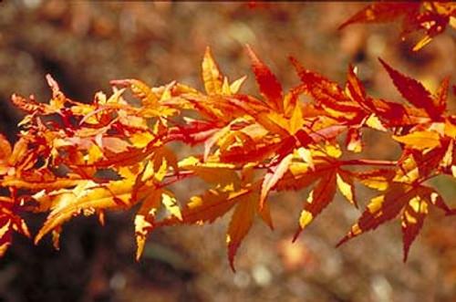 Acer palmatum 'Japanese Sunrise' Japanese Maple Tree