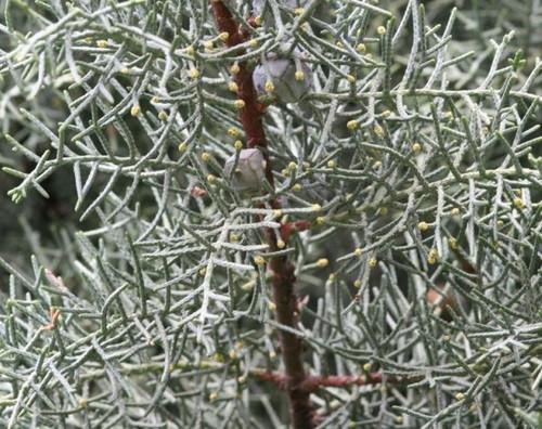Cupressus glabra Blue Ice Arizona Cypress