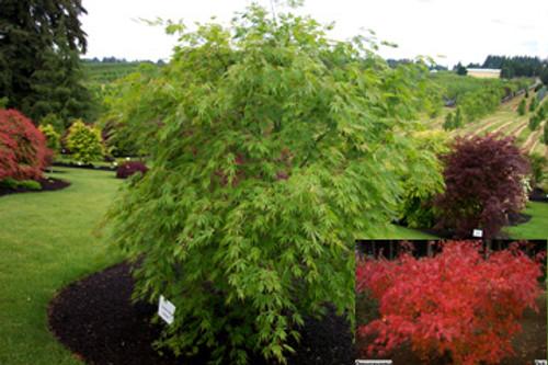 Acer Palmatum Okushimo Japanese Maple Tree Kigi Nursery