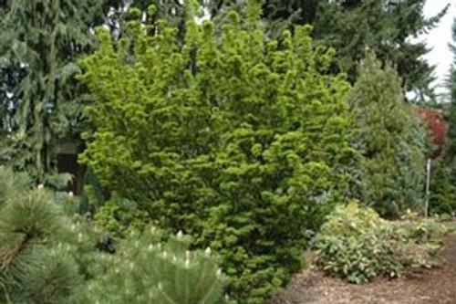 Acer palmatum ' Shishigashira ' Japanese Maple Tree