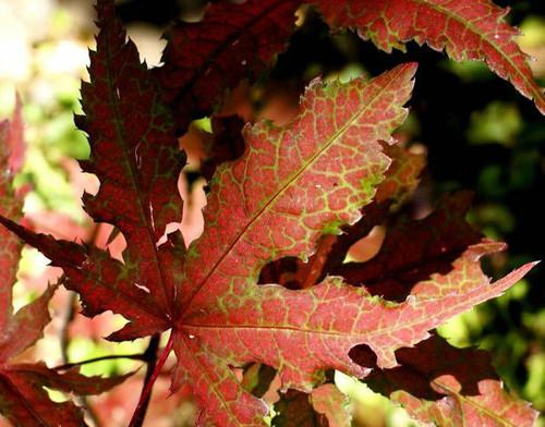 Acer palmatum Purple Ghost Japanese Maple Tree