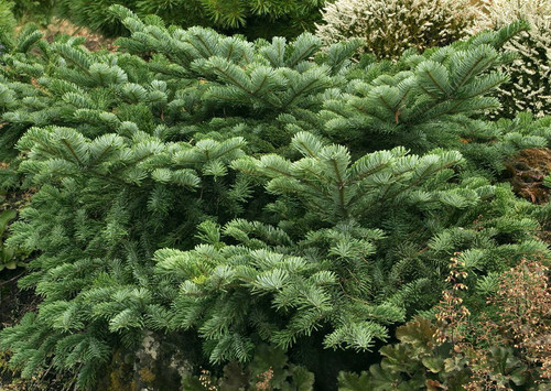 Spreading Pacific Silver Fir