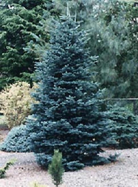 Abies lasiocarpa 'Glauca Arizonica' Blue Arizona Alpine Fir