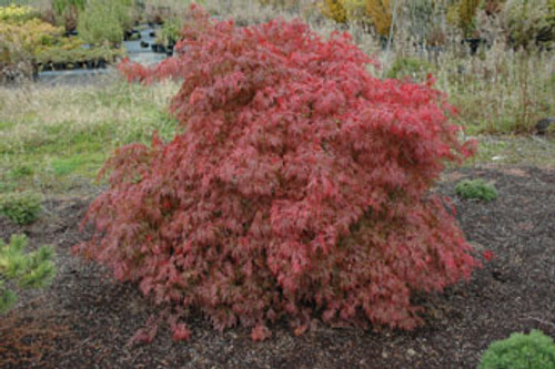 Acer palmatum dissectum 'Orangeola' Weeping Cutleaf Japanese Maple Tree