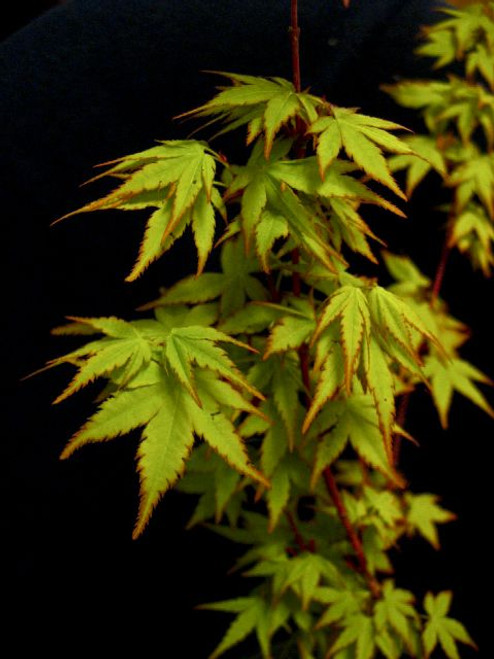 Winter Flame Dwarf Coral Bark Japanese Maple
