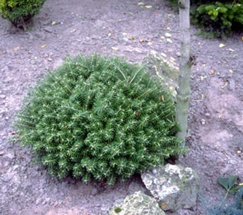 Abies koreana 'Green Carpet' Dwarf Korean Fir