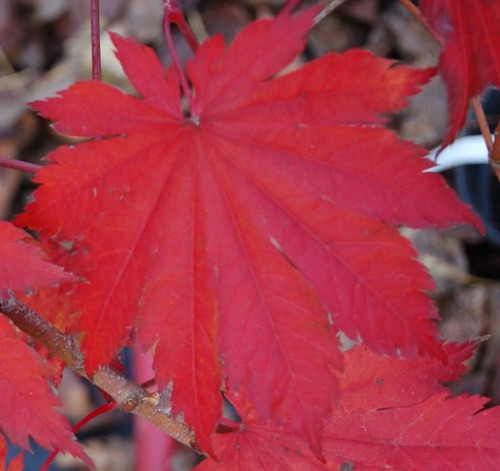 Acer japonicum 'O isami' Fullmoon Maple Tree