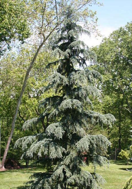 Cedrus deodara Karl Fuchs Himalayan Cedar