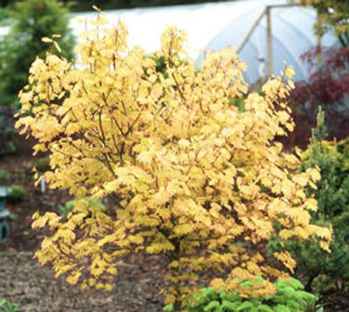 Acer circinatum Sunglow Vine Maple