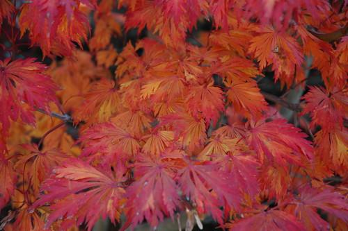 Acer japonicum ' Aconitifolium ' Fern Leaf Maple Fall