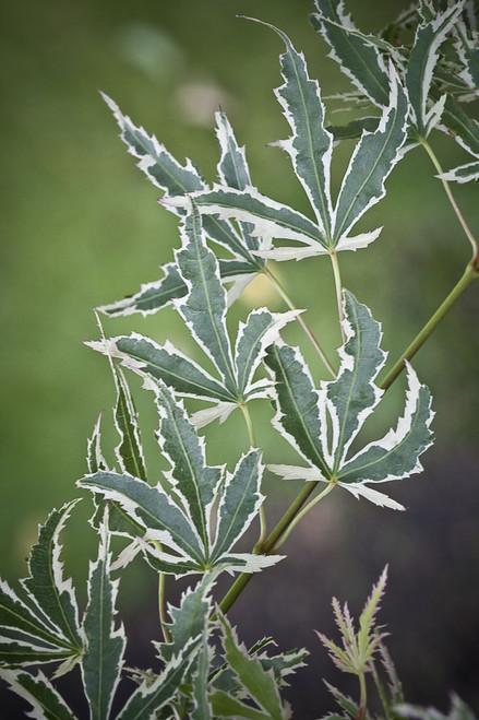 Acer palmatum Butterfly Japanese Maple Tree