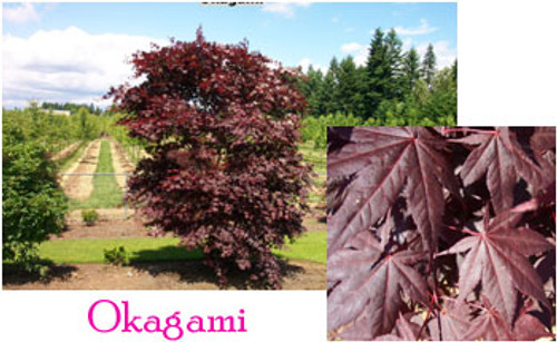 Acer palmatum 'Okagami' Japanese Maple Tree