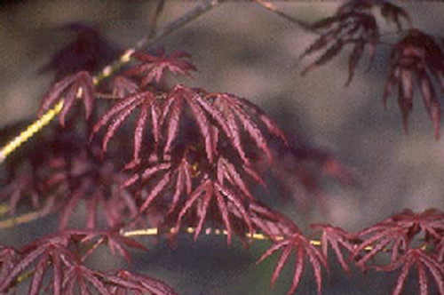 Acer palmatum Trompenburg Japanese Maple Tree